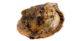 Round Pearl Oyster